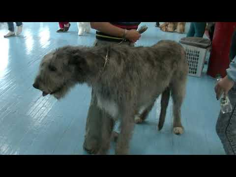 Ирланский волкодав Irish wolfhound