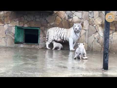 Шахерезада с малышами. Тайган. Крым. White tigress Scheherazade and cubs