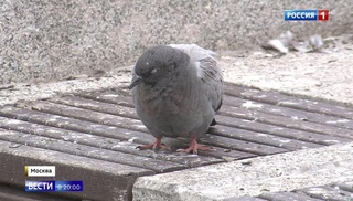Вести.Ru: В Москве массово погибают голуби: неизвестные травят птиц ядом