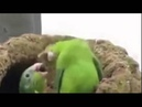 Parrots dancing to Drum and Bass | Funny video