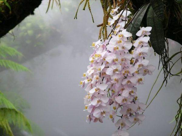 В природе цветение орхидеи регулярно.