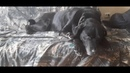 Лабрадор Рей экскурсии жил был пёс YouTube Leo Ridge muzeum Leo
