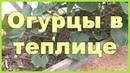Огурцы в теплице посадка уход сбор урожая