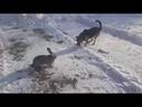 Кролик гоняет овчарку , смешное видео про животных