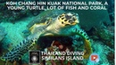 Koh chang hin kuak national park, a young turtle, lot of fish and coral with Thailand Diving Pattaya