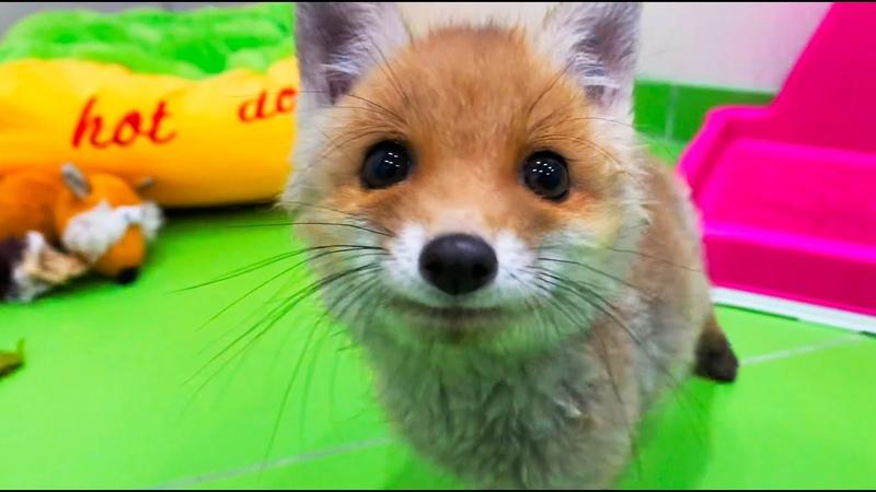 Найденыш из леса как теперь живет лисенок Вук