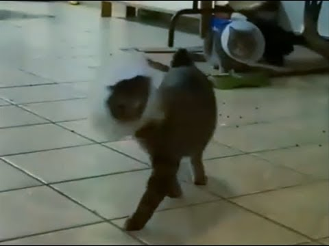 THE DISCO CAT STROLL