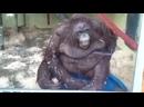 Обезьяна падает смешные животные, обезьяны, орангутан, мемы