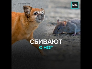 Животные сбивают людей с ног — Москва 24
