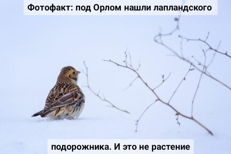 Фотофакт: под Орлом нашли лапландского подорожника. И это не растение