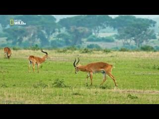«Дикая природа Уганды» (Познавательный, животные, 2018)