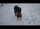 Бойцовая Собака Ам стафф против Питбуля кто выносливей