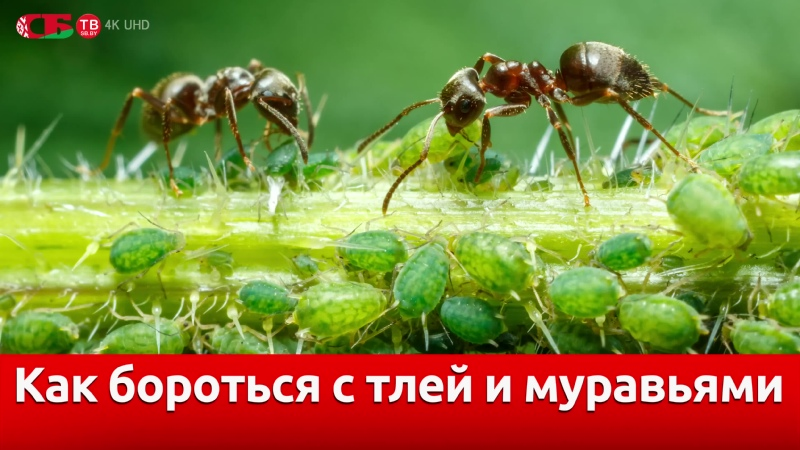 Тля и муравьи – лучший способ борьбы на даче | видео 4K UHD