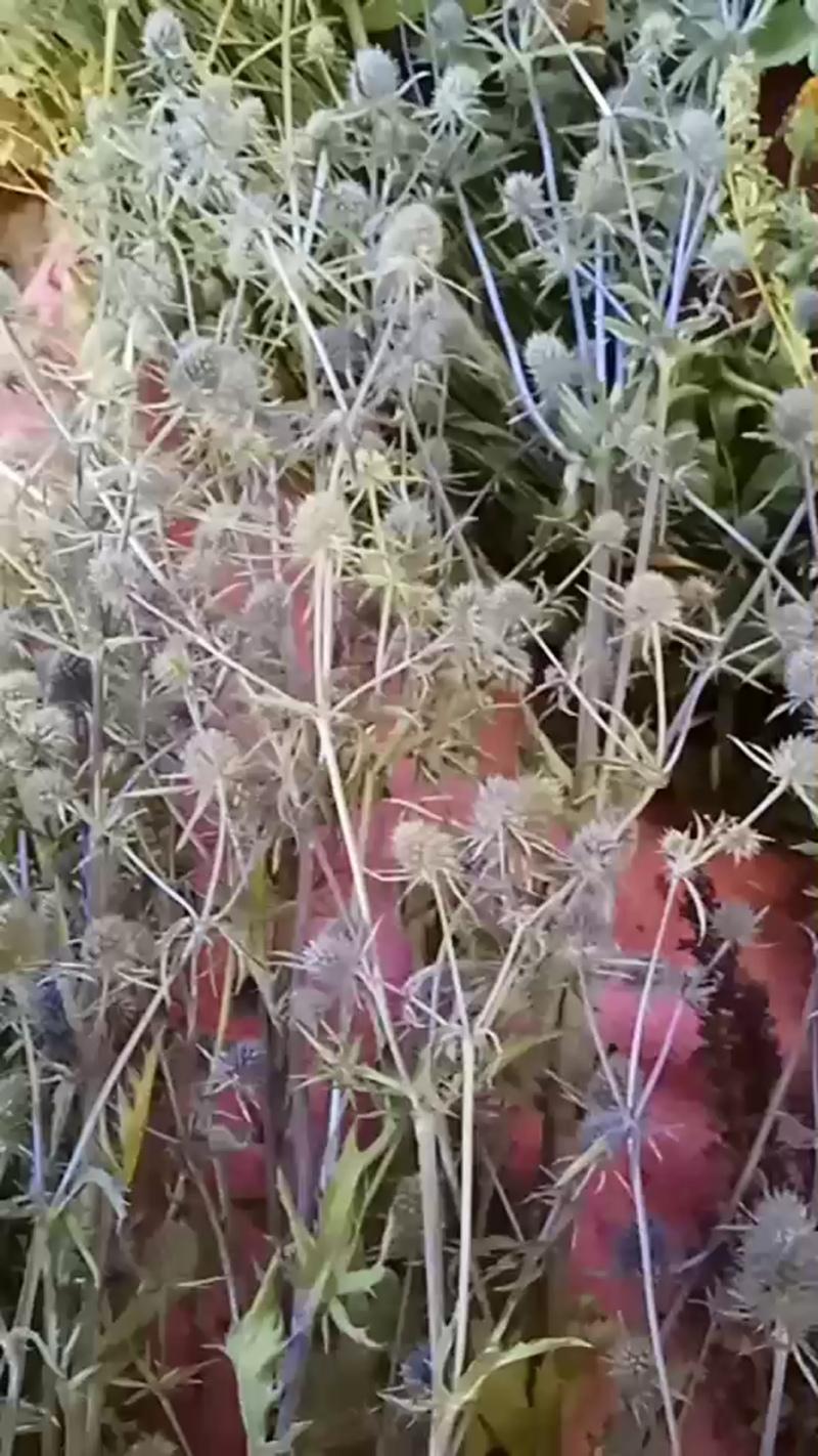 Дары природы. Травы. Чертополох