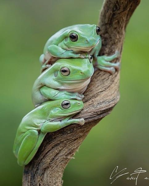 Лягушки от фотографа Танто Йенсен