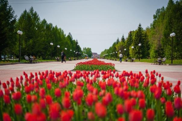 В клумбы города высажены 95 тысяч луковец тюльпано...