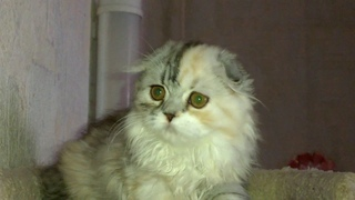 Тиффи шотландский котенок девочка хайленд фолд (продается)