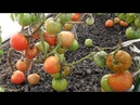 Лучшие сорта помидоров на моем участке по итогам сезона