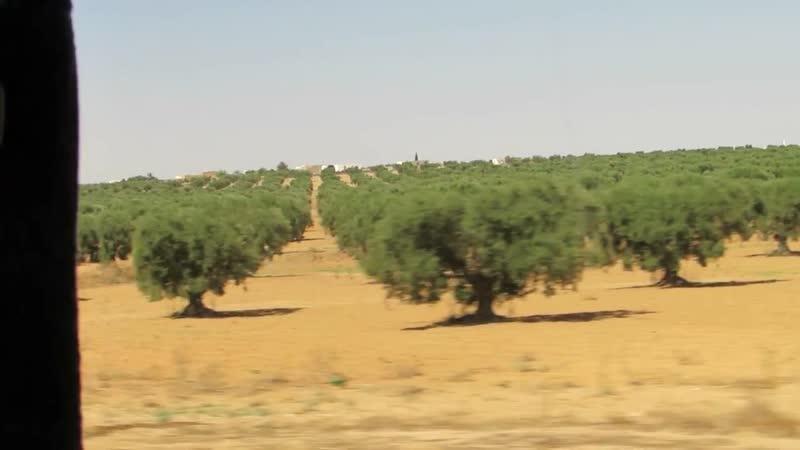 Тунис. Оливковые рощи-плантации из окна автобуса.