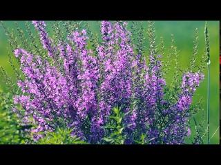Яркий летний куст. Иван-чай цветёт | Футажи красивая природа [FullHD]