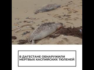 Массовая гибель тюленей в Дагестане