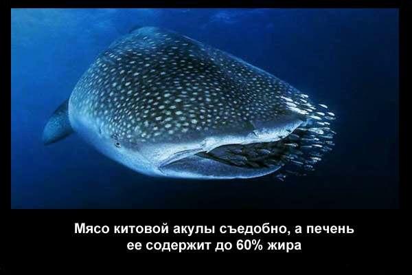 валтея - Интересные факты о акулах / Хищники морей.(Видео. Фото) DMOgHYbJGpk