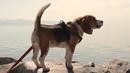 Video №2 Приключения собаки породы Бигль триколор