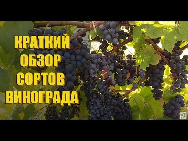 Обзор сортов винограда ГОЛУБОК БЕСЕДОЧНЫЙ СВЕНСОН РЕД СЕНТ КРУ и т.д.