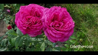 Пышное цветение роз. Любимая Bonica жжёт :) Ролик - Relax!!!